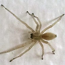 Black-footed Spider – Cheiracanthium mildei, a species introduced from southern Europe
